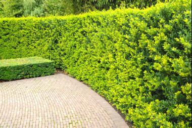Japaninorjanlaakeri 'Green Hedge'