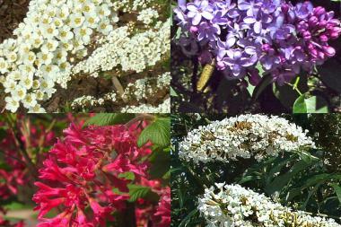Perhosia ja hyönteisiä houkutteleva pensasaita