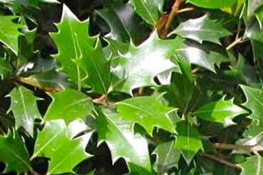 Osmanthus 'heterophyllus'