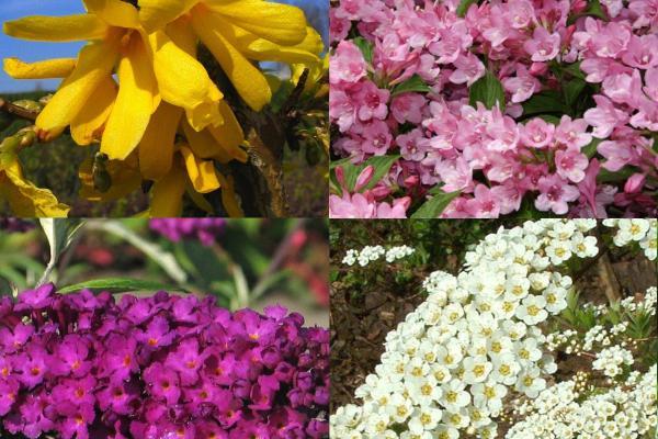 Korkea kukkiva aidanne 1