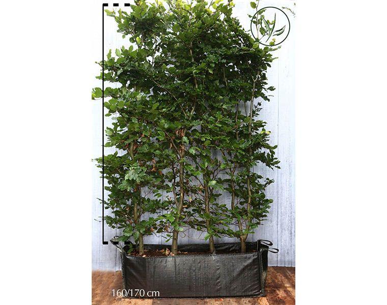 Euroopanpyökki Valmiit pensasaidat 150-175 cm Valmiselementti