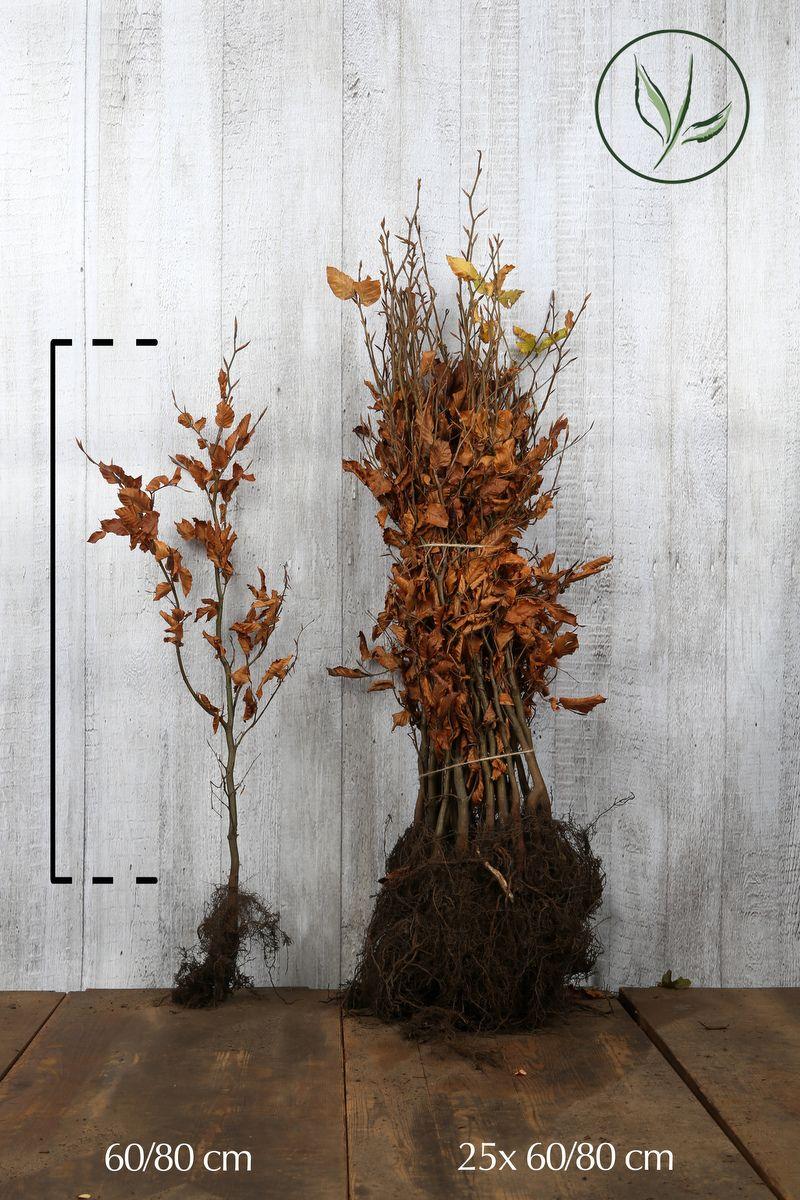 Euroopanpyökki Paljasjuuri 60-80 cm