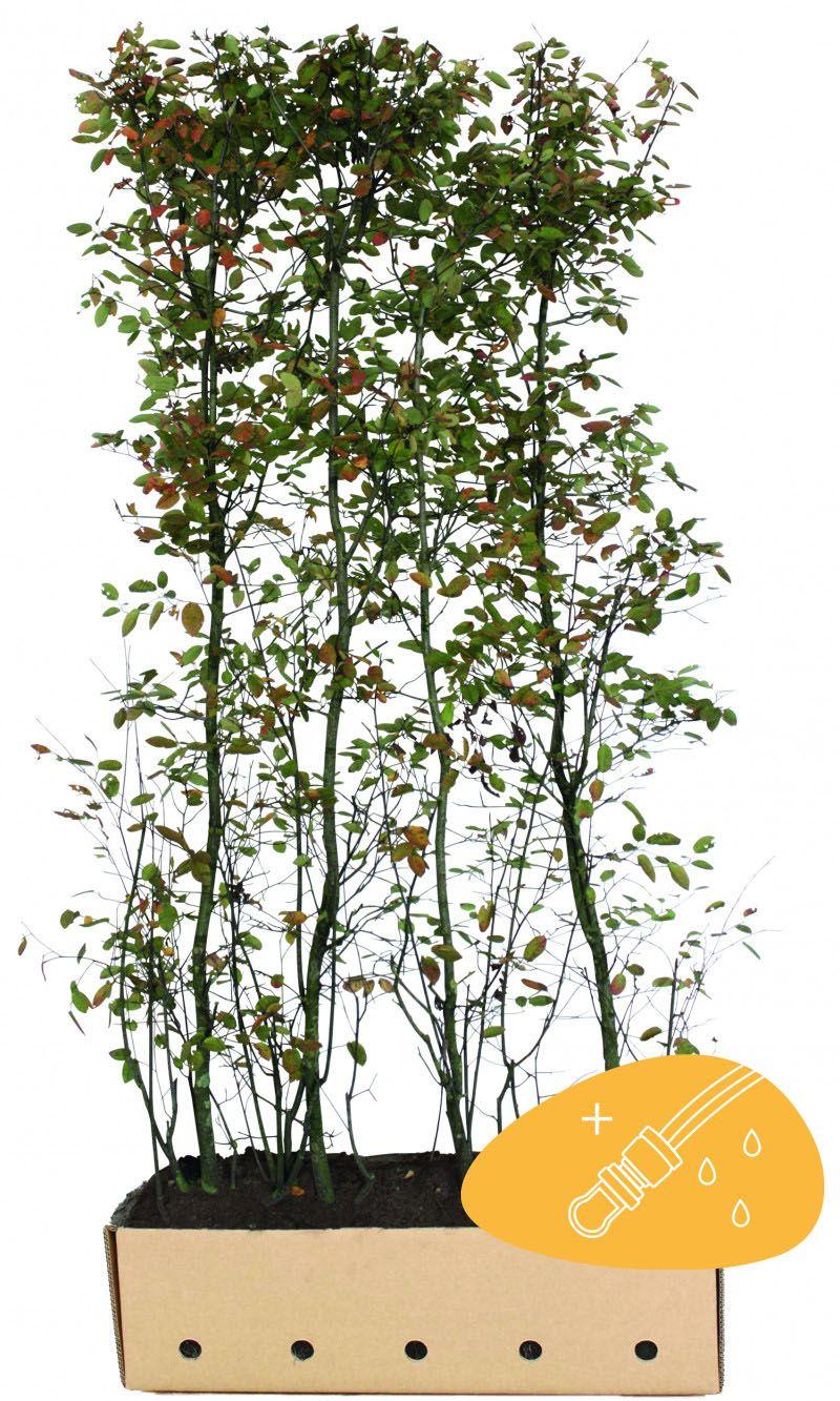 Rusotuomipihlaja Valmiit pensasaidat 200 cm