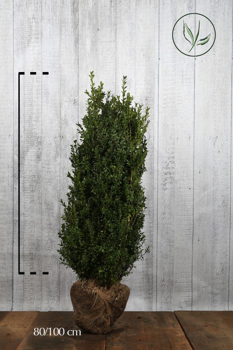 Isopuksipuu - pensaat Paakkutaimi 80-100 cm Erikoislaatu