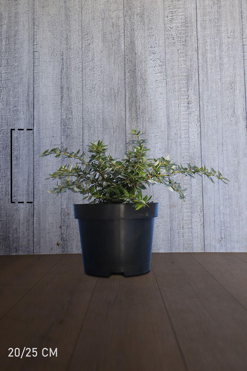 Välkehappomarja Astiassa 20-25 cm