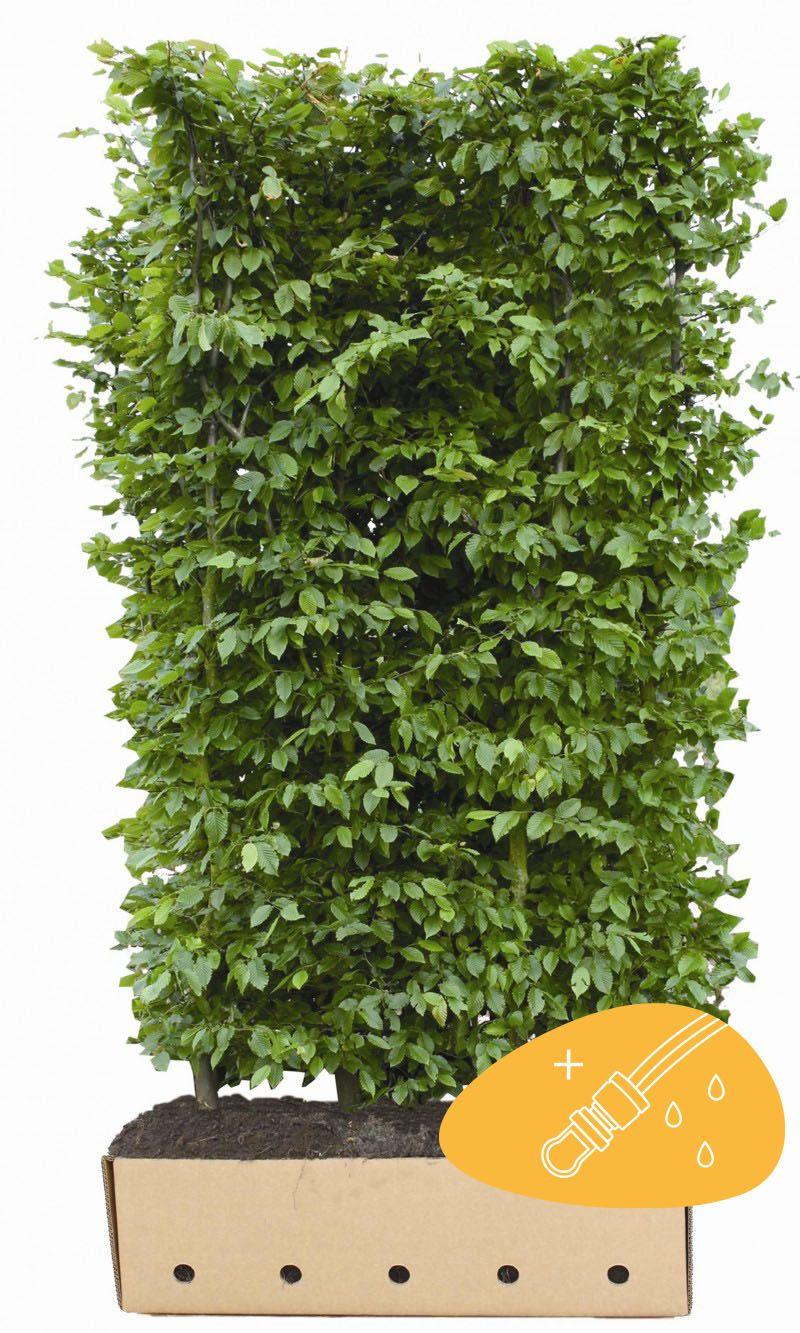 Valkopyökki Valmiit pensasaidat 200 cm Valmiselementti