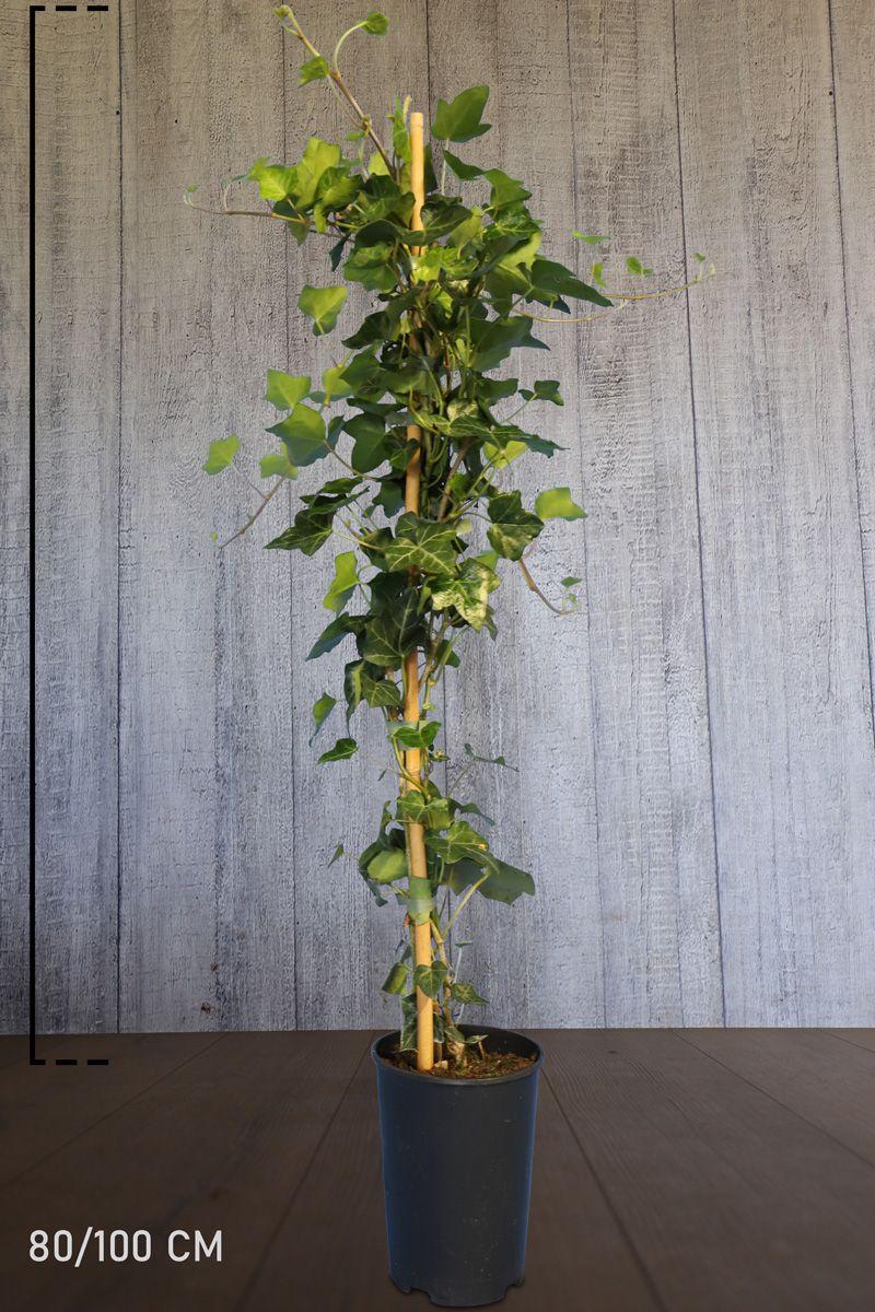Irlanninmuratti Astiassa 80-100 cm