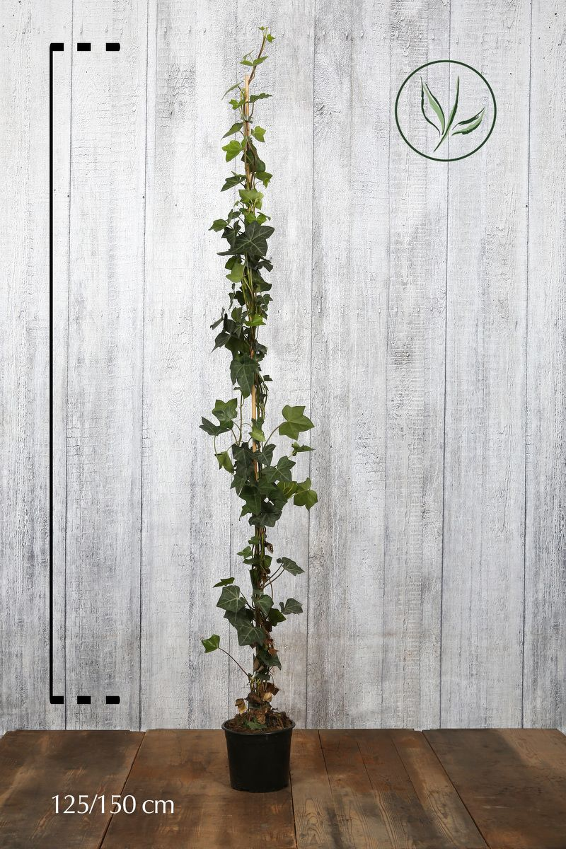 Irlanninmuratti Astiassa 125-150 cm