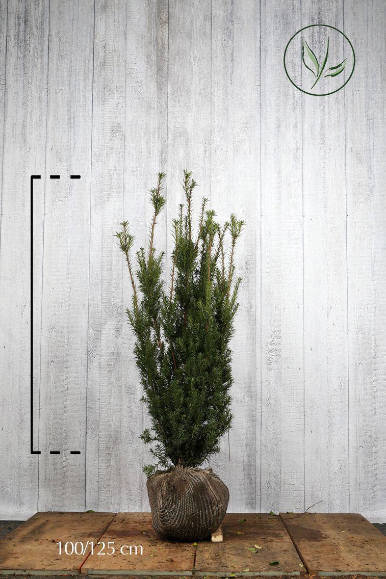 Kartiomarjakuusi 'Hicksii' Paakkutaimi 100-125 cm