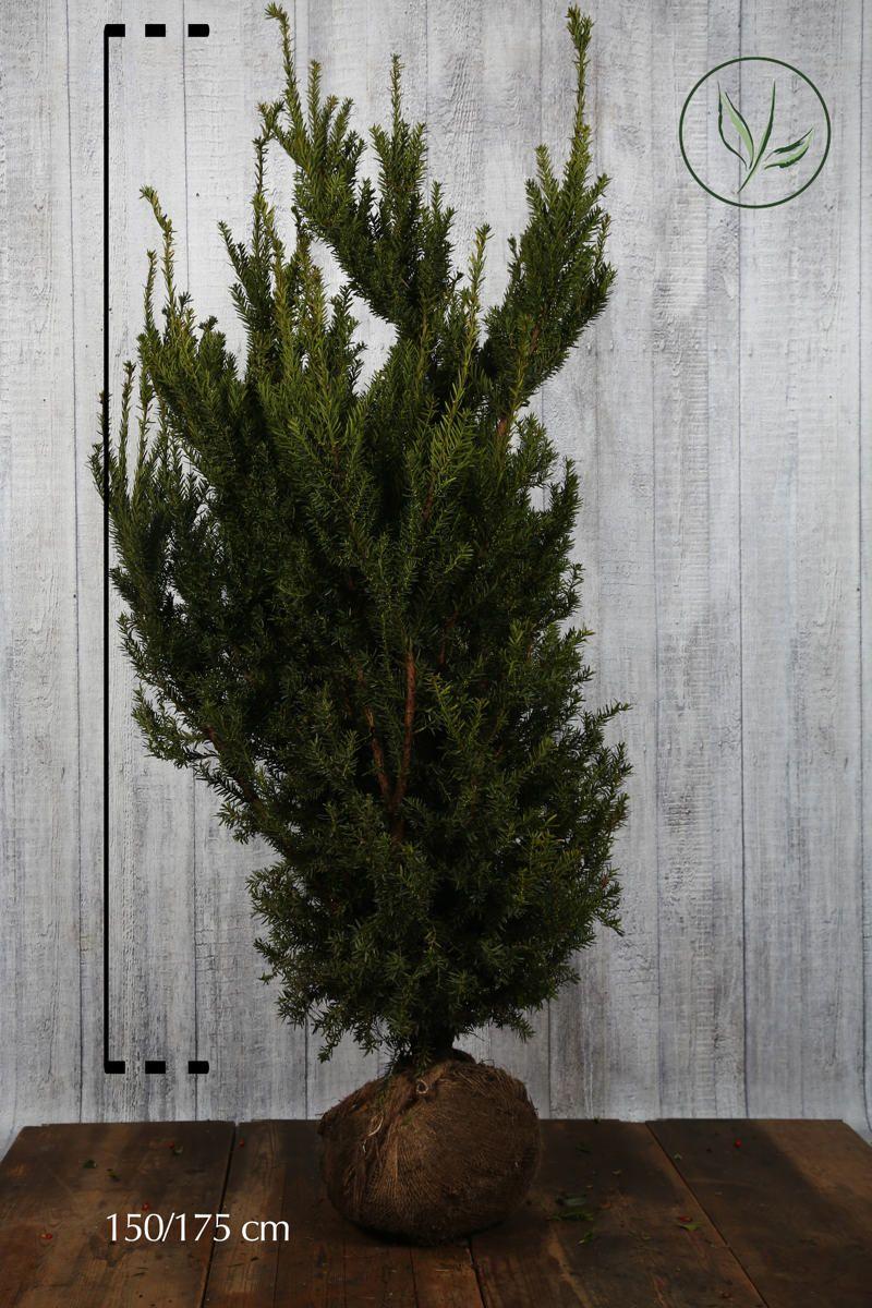 Kartiomarjakuusi 'Hicksii' Paakkutaimi 150-175 cm Erikoislaatu