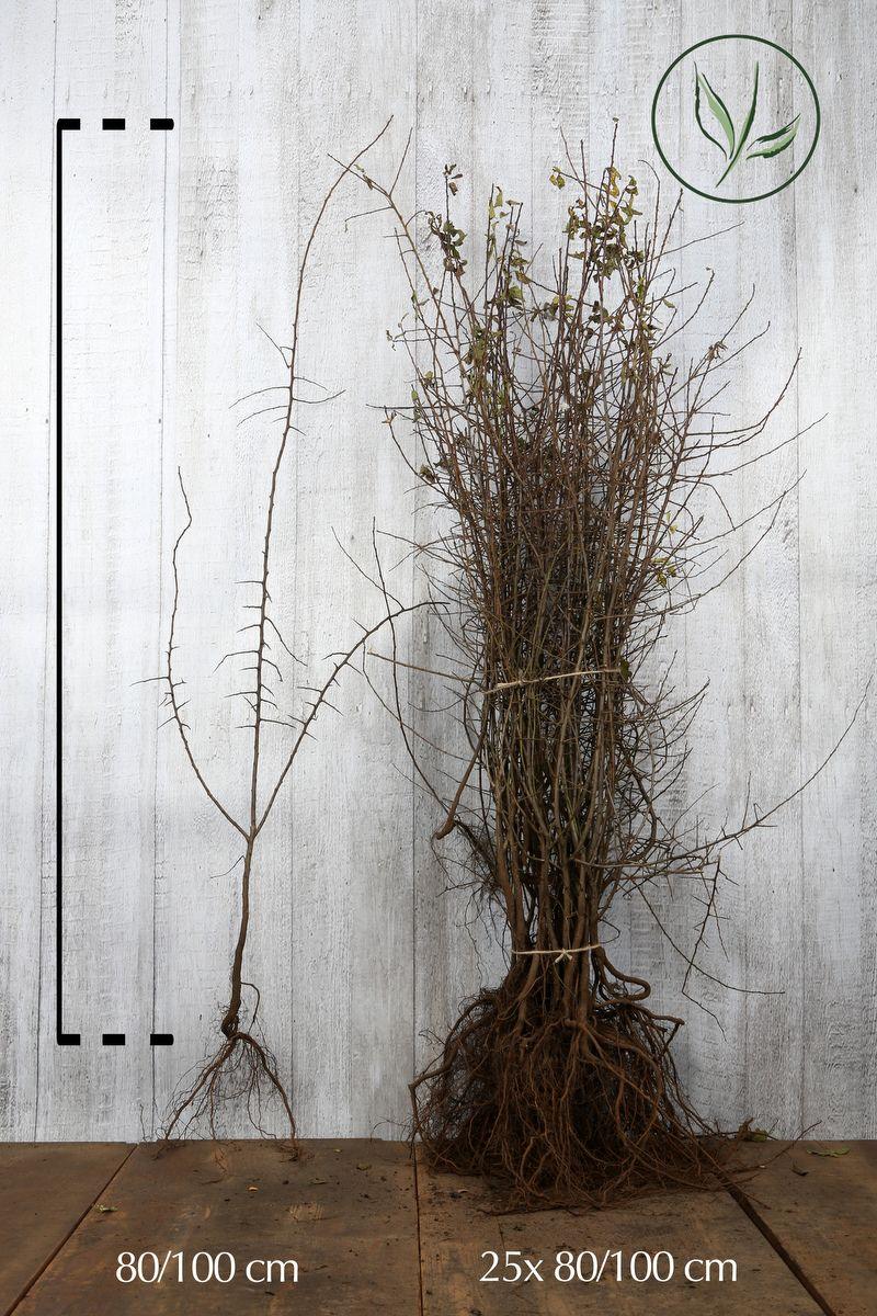 Oratuomi Paljasjuuri 80-100 cm
