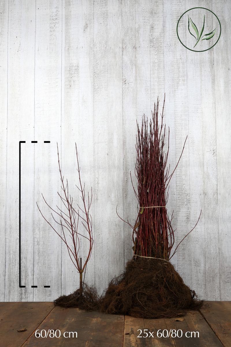Laikkukirjokanukka Paljasjuuri 60-80 cm