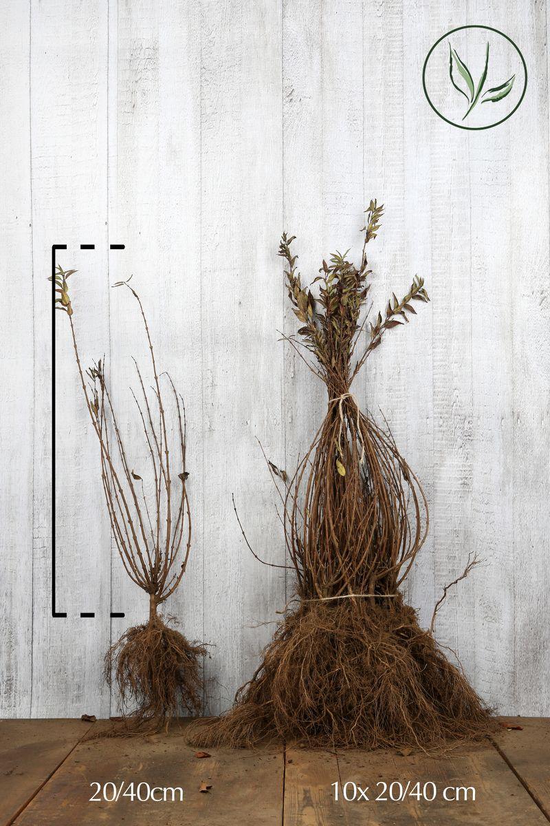Nietospensas Paljasjuuri 20-40 cm