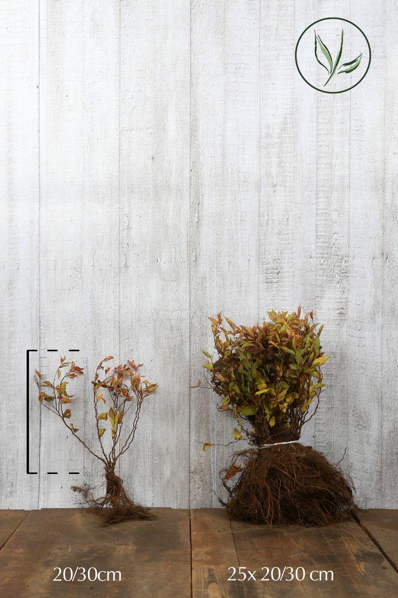 Keltajapaninangervo Paljasjuuri 20-30 cm