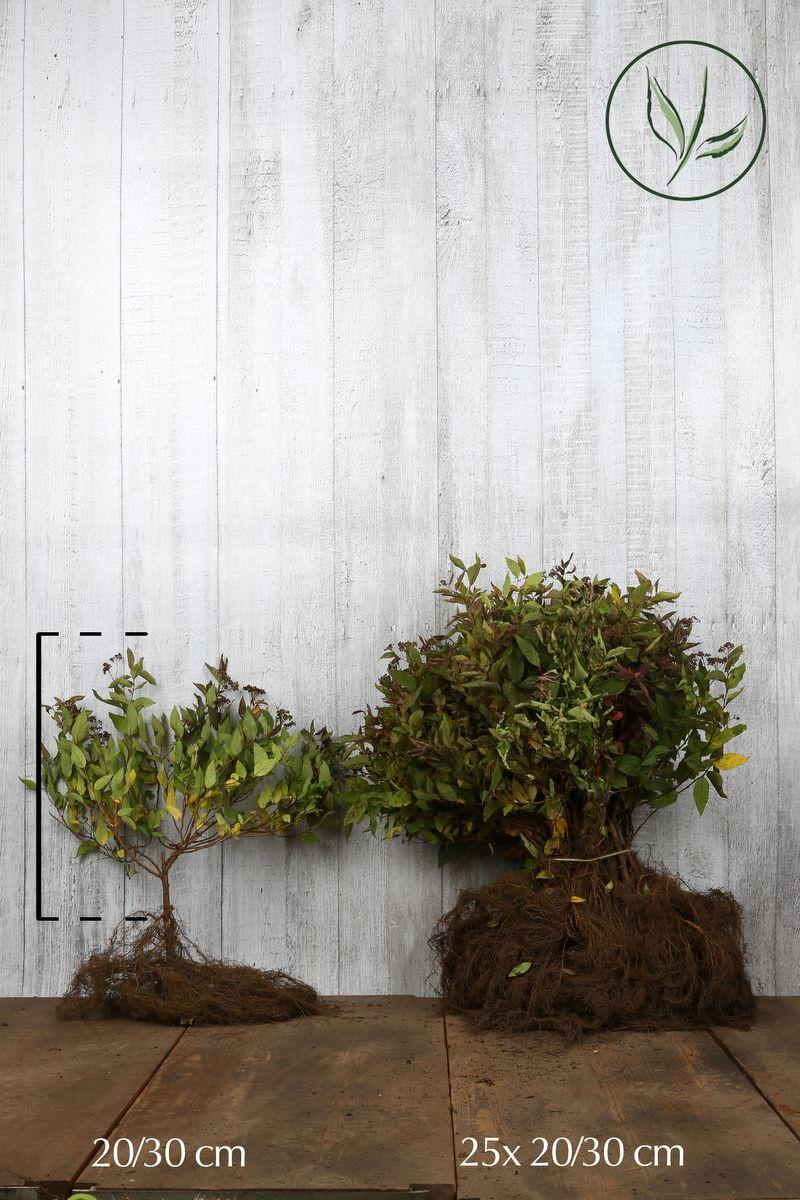 Tummaruusuangervo Paljasjuuri 20-30 cm