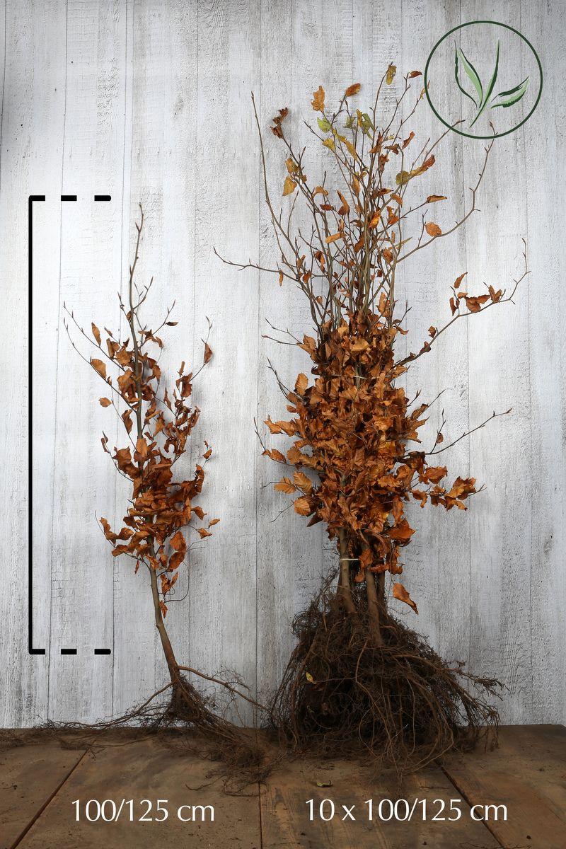 Euroopanpyökki Paljasjuuri 100-125 cm Erikoislaatu