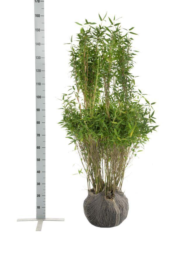Vuoriruokobambu 'Simba' Paakkutaimi 125-150 cm