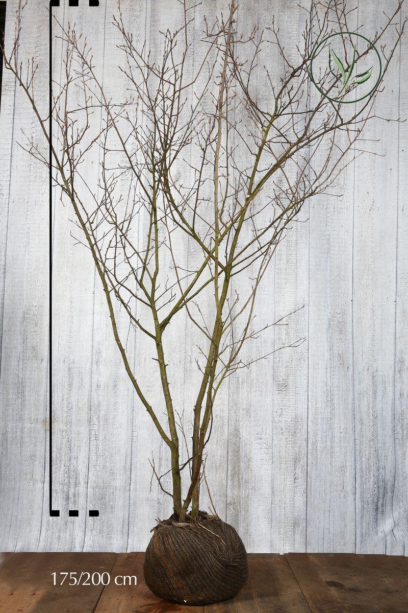 Rusotuomipihlaja Paakkutaimi 175-200 cm