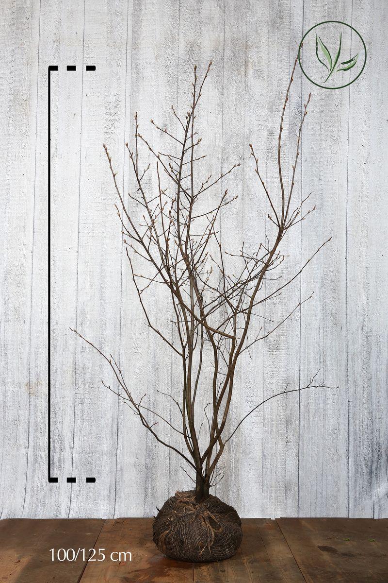 Rusotuomipihlaja Paakkutaimi 100-125 cm