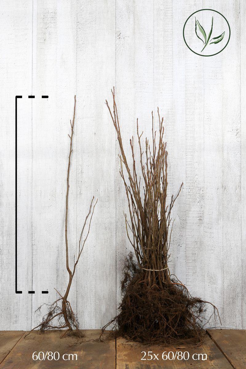 Rusotuomipihlaja Paljasjuuri 60-80 cm