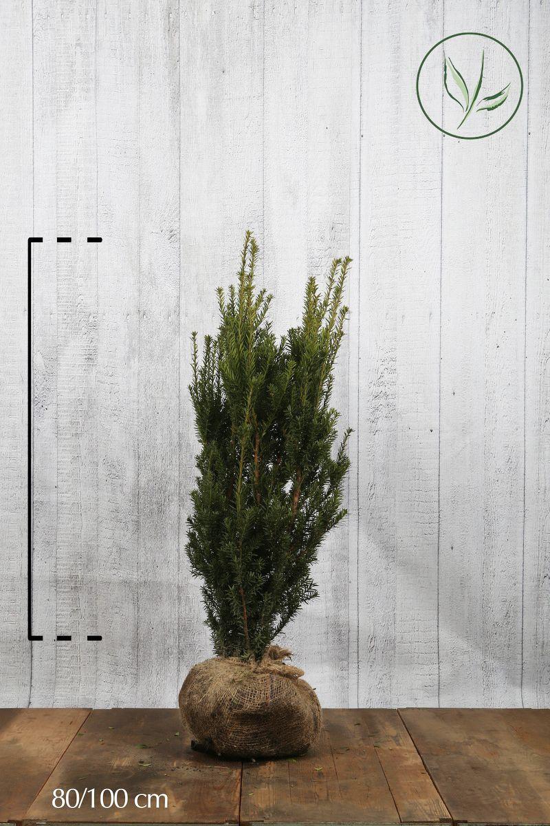 Kartiomarjakuusi 'Hillii' Paakkutaimi 80-100 cm