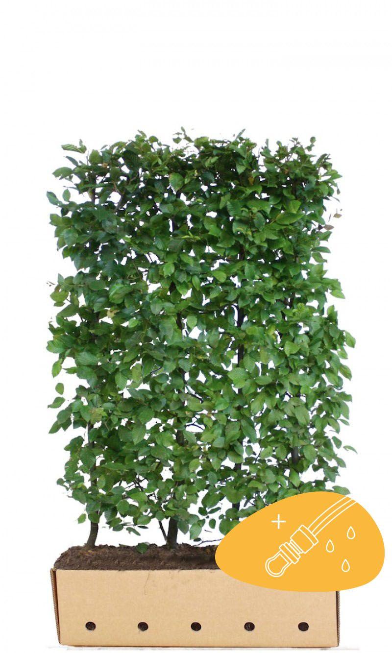 Valkopyökki Valmiit pensasaidat 150 cm Valmiselementti