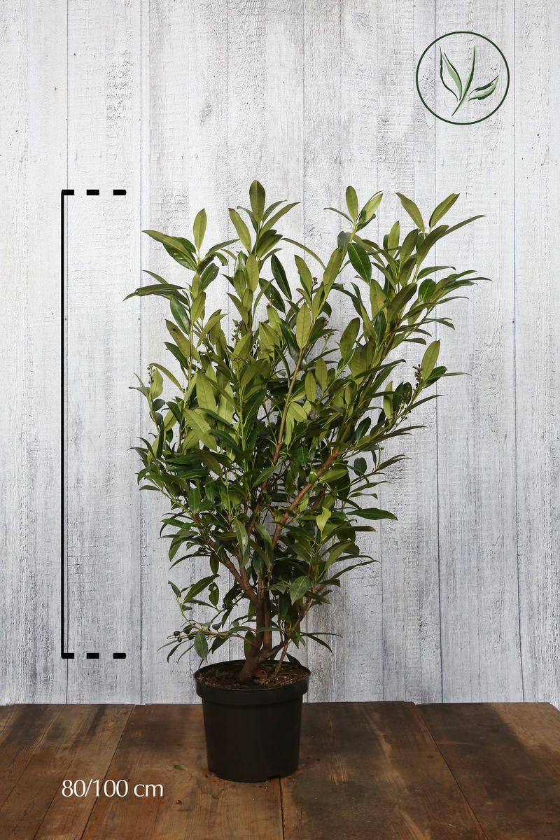 Laakerikirsikka 'Herbergii'  Astiassa 80-100 cm