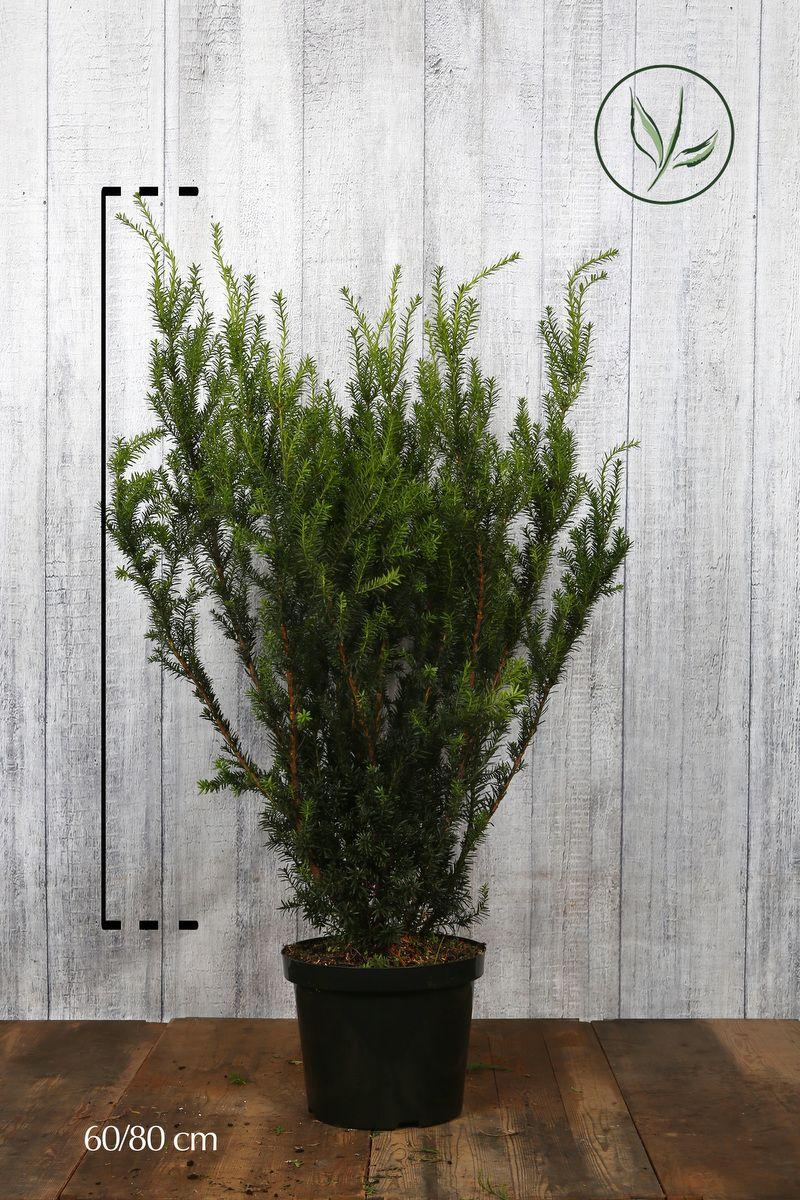 Kartiomarjakuusi 'Hicksii' Astiassa 60-80 cm