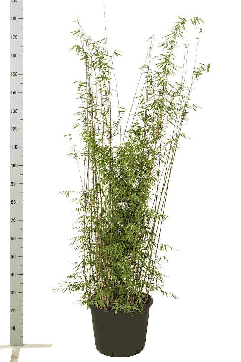 Kiiltoruokobambu 'Jiuzhaigou' Astiassa 125-150 cm
