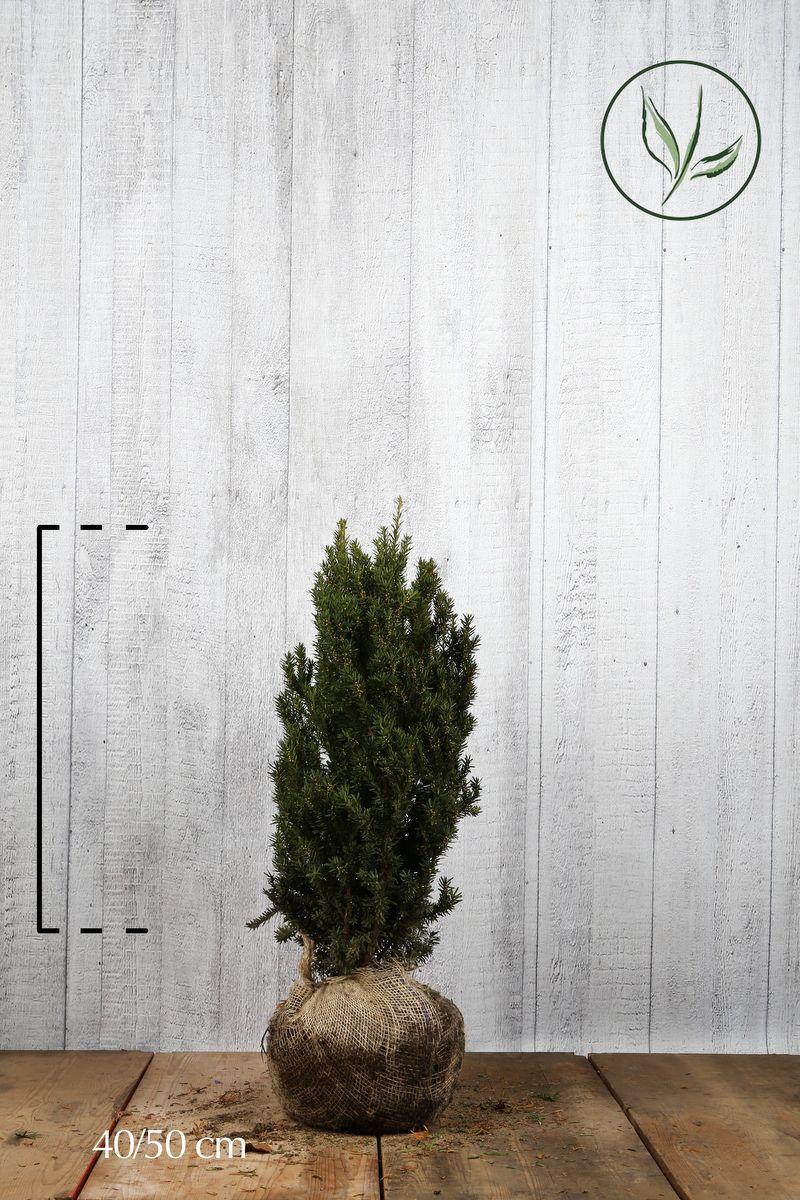 Kartiomarjakuusi 'Hillii' Paakkutaimi 40-50 cm