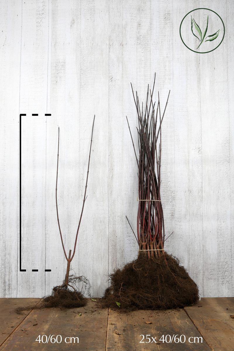 Verikanukka Paljasjuuri 40-60 cm