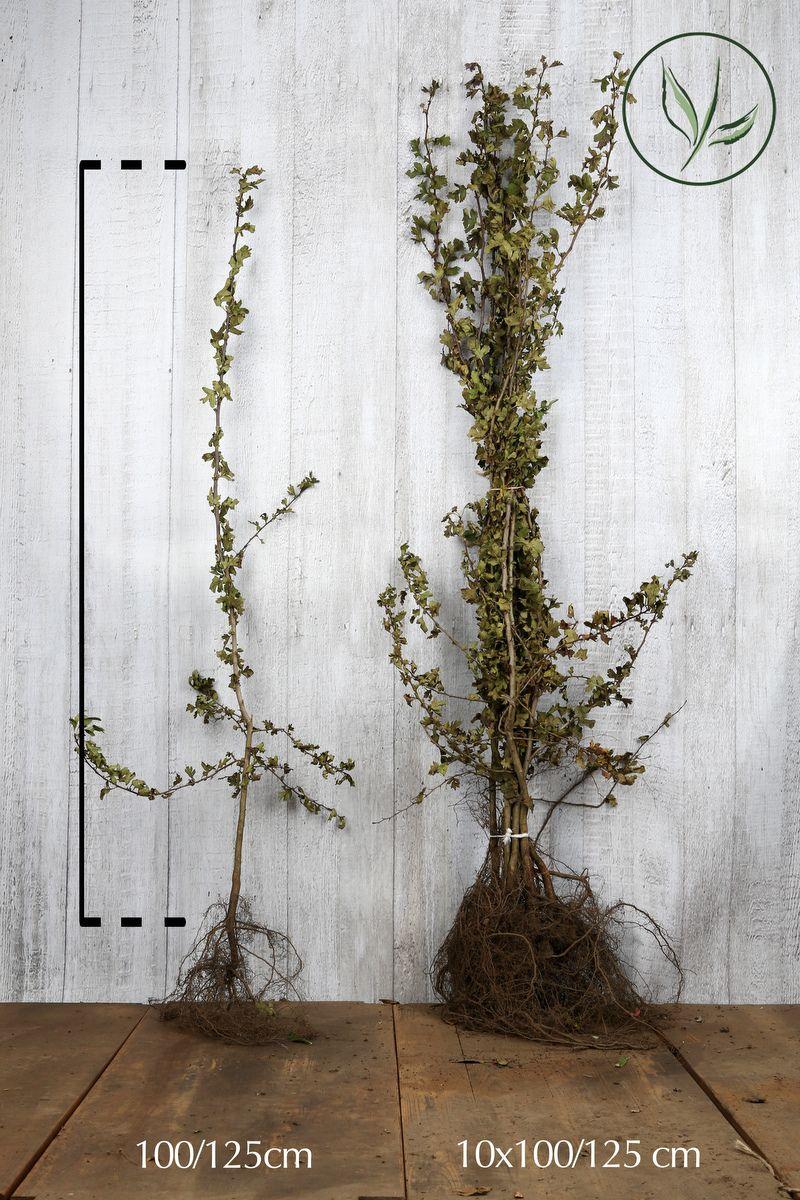 Orapihlaja Paljasjuuri 100-125 cm