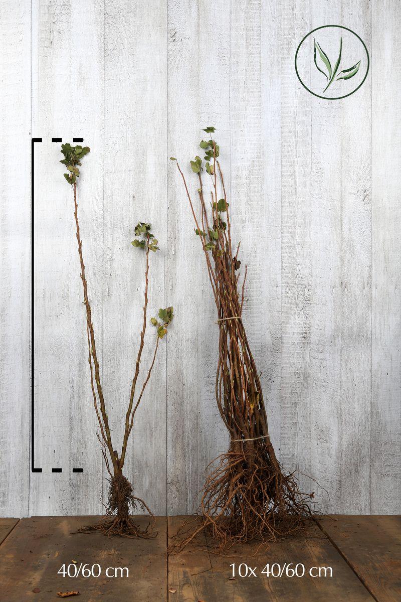 Ruusuherukka 'King Edward VII' Paljasjuuri 40-60 cm