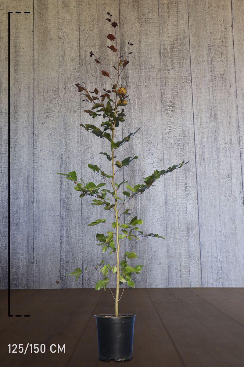 Veripyökki Astiassa 125-150 cm Erikoislaatu