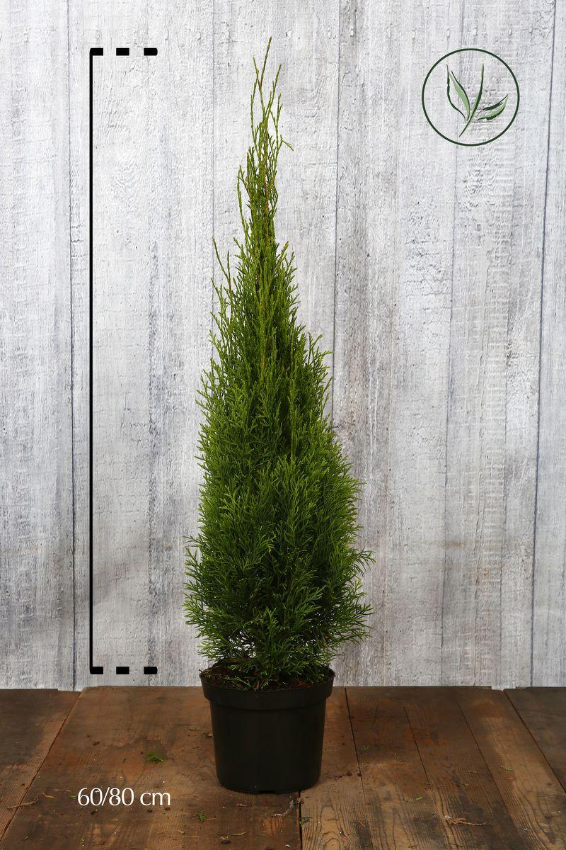 Timanttituija 'Smaragd' Astiassa 60-80 cm Erikoislaatu