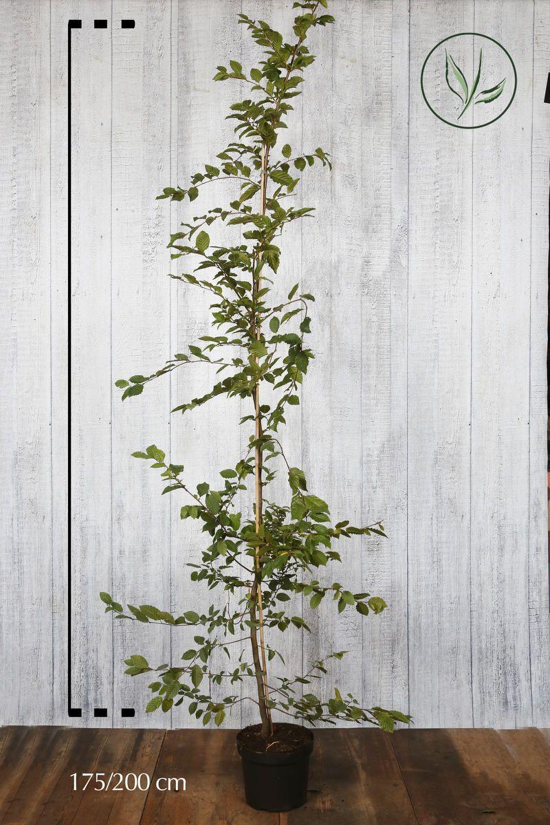 Valkopyökki Astiassa 175-200 cm Erikoislaatu