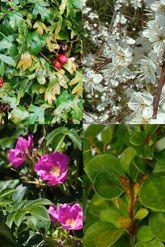 Suojaava pensasaita pensasaitapaketti astioissa 30-60 cm