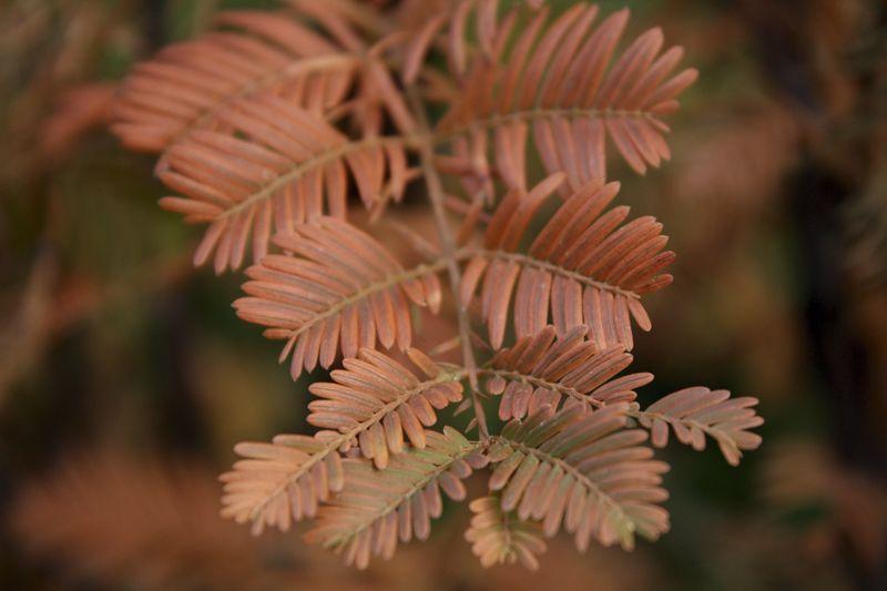 Kiinanpunapuu Valmiit pensasaidat 200 cm Valmiselementti
