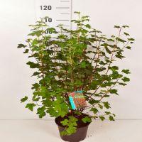 Ruusuherukka 'King Edward VII' Astiassa 60-80 cm