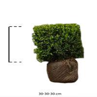 Isopuksipuu – kuutiot Valmiit pensasaidat 30h x 30 x 30 cm Valmiselementti