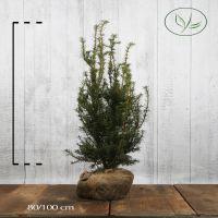 Kartiomarjakuusi 'Hicksii' Paakkutaimi 80-100 cm