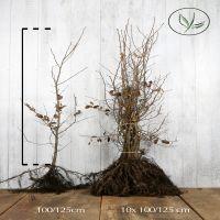 Valkopyökki Paljasjuuri 100-125 cm Erikoislaatu
