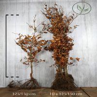Euroopanpyökki Paljasjuuri 125-150 cm Erikoislaatu