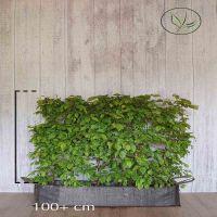 Valkopyökki Valmiit pensasaidat 100+ cm Valmiselementti