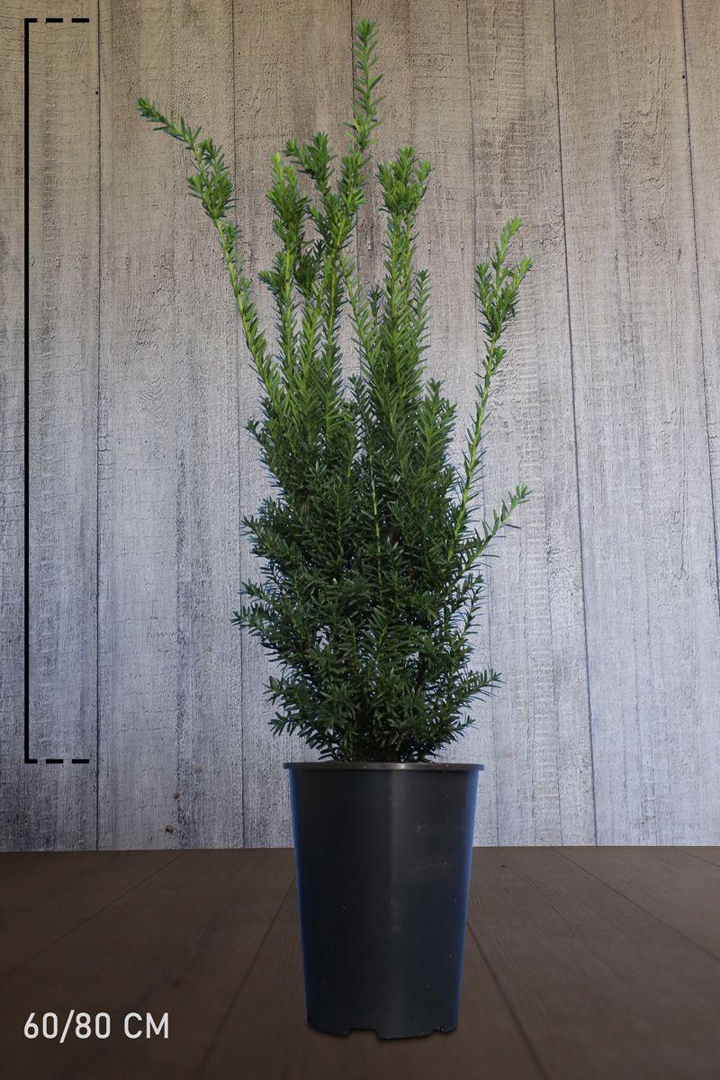 Kartiomarjakuusi 'Hillii' Astiassa 60-80 cm