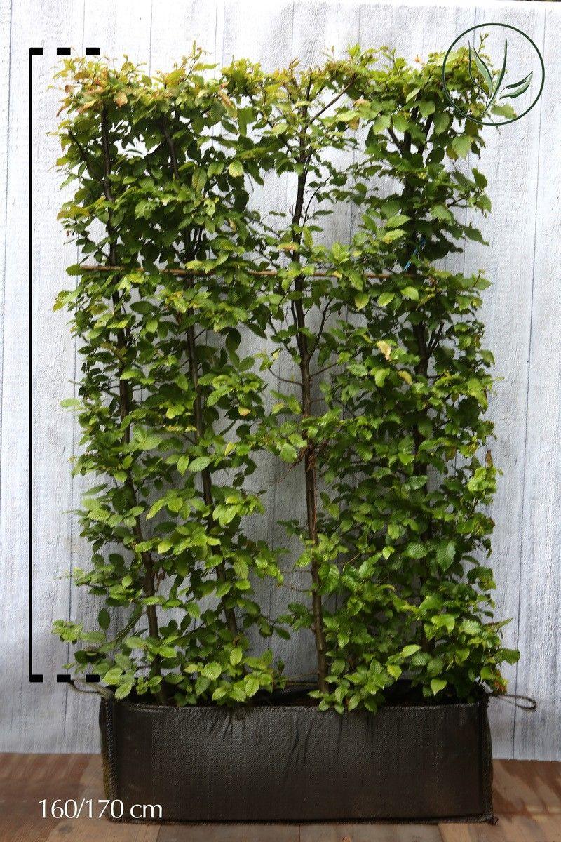 Valkopyökki Valmiit pensasaidat 160-170 cm Valmiselementti