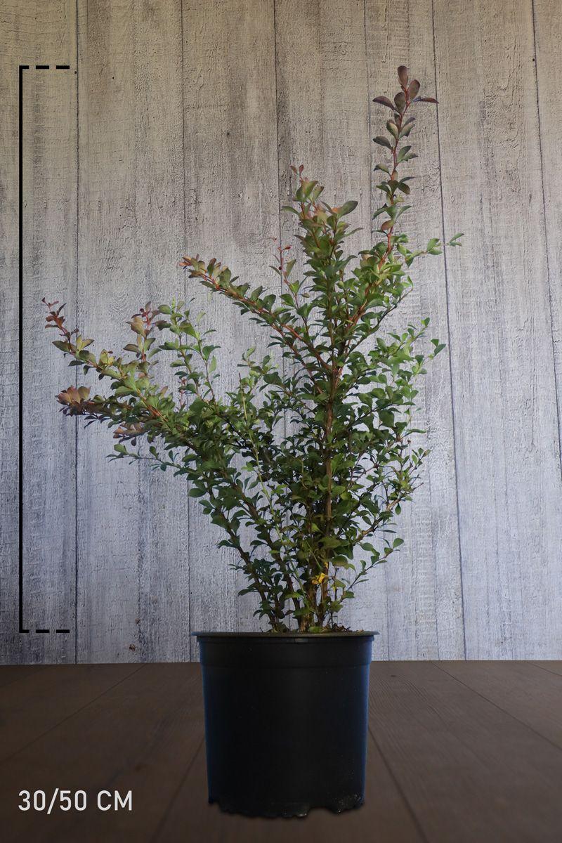Purppurahappomarja Astiassa 30-50 cm