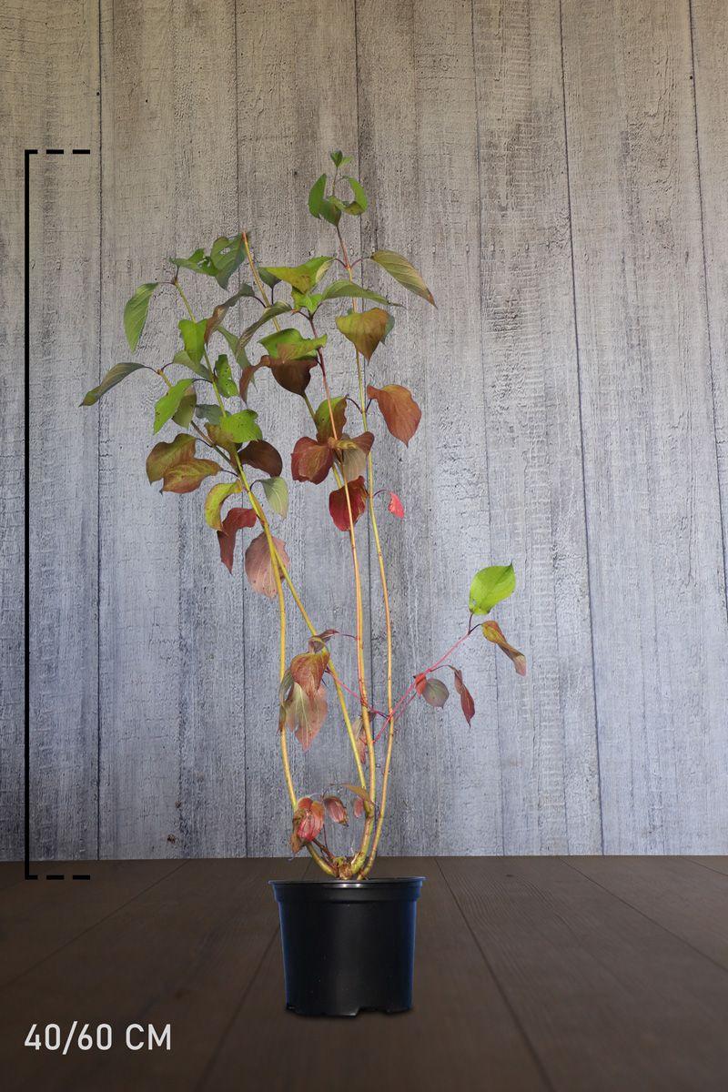 Korallikanukka Astiassa 40-60 cm