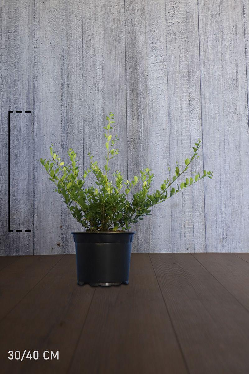 Japaninorjanlaakeri 'Green Hedge' Astiassa 30-40 cm Erikoislaatu