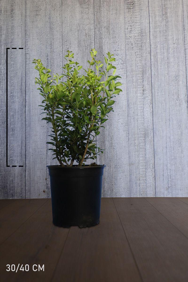 Japaninorjanlaakeri 'Kanehirae' Astiassa 30-40 cm